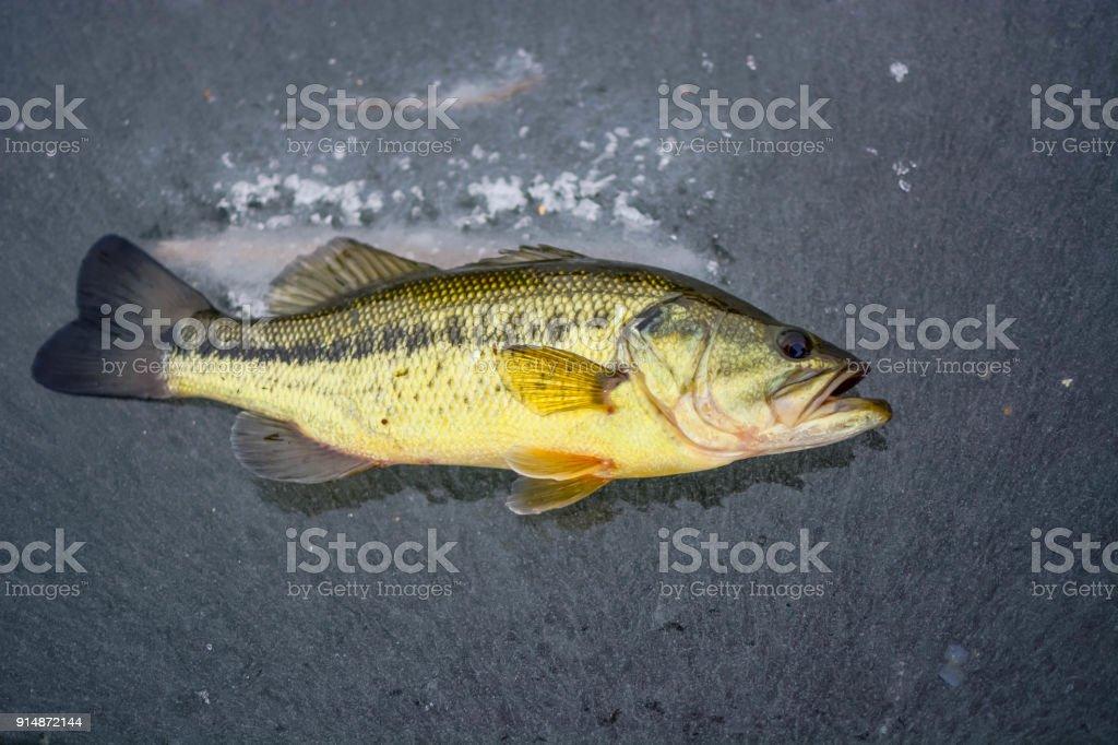 Largemouth Bass Ice Fishing Stock Photo Download Image Now Istock
