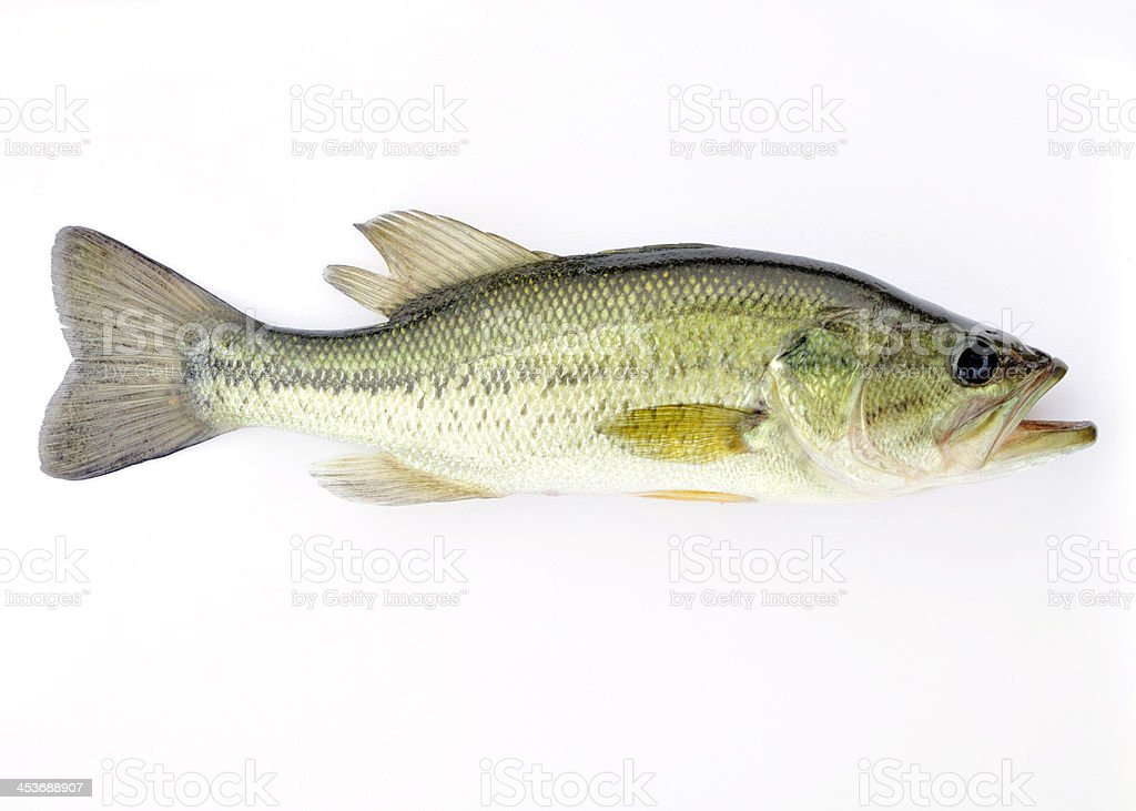 Largemouth bass isolated on a white background stock photo