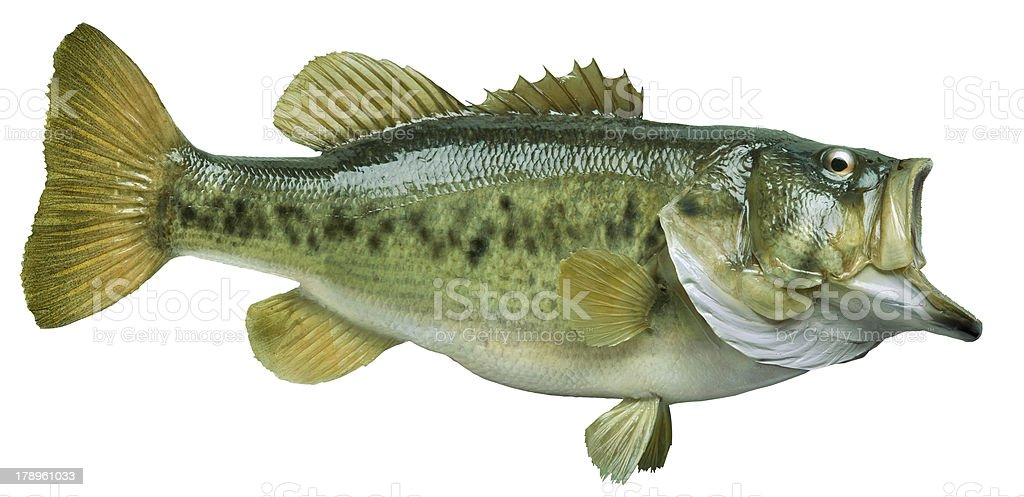 Largemouth bass isolated on white stock photo
