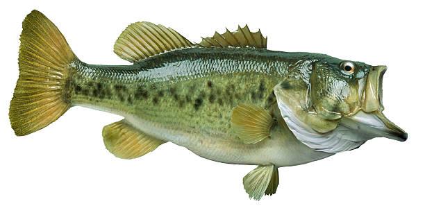 Largemouth bass isolated on white stock photo