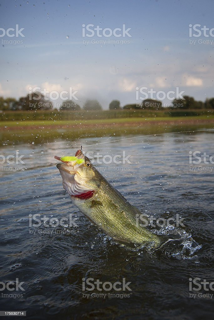 Largemouth Bass Jumping Across the Water stock photo