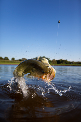 Largemouth Bass Jumping out of the Water.