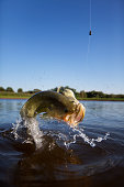 Largemouth Bass Jumping Out of the Water