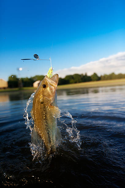 Largemouth Bass Jumping out of water - foto stock