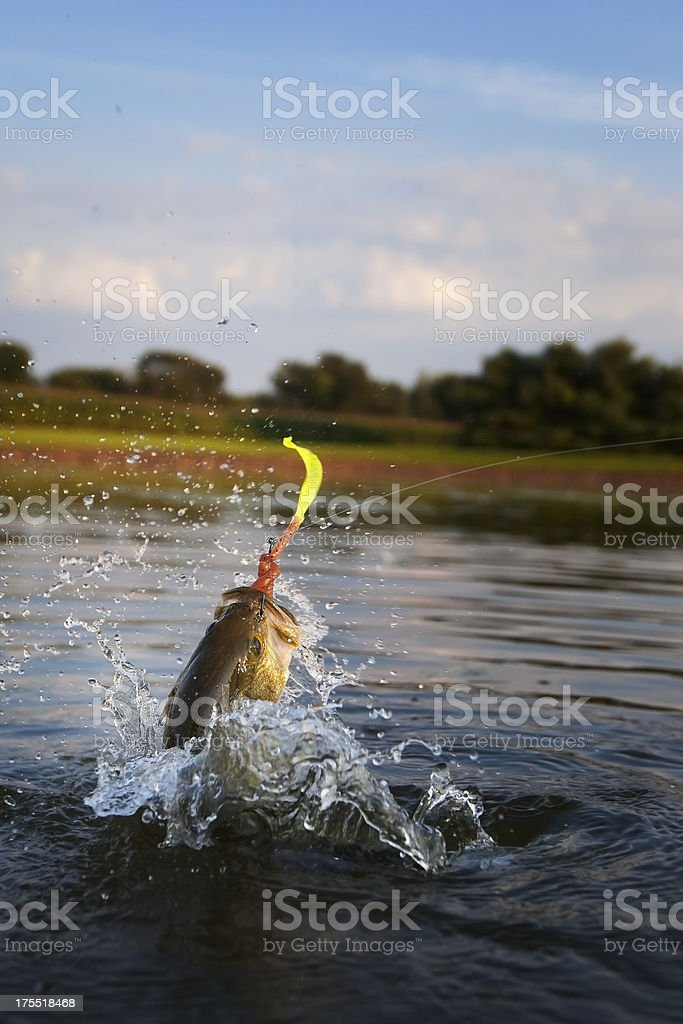 Largemouth Bass Jumping stock photo