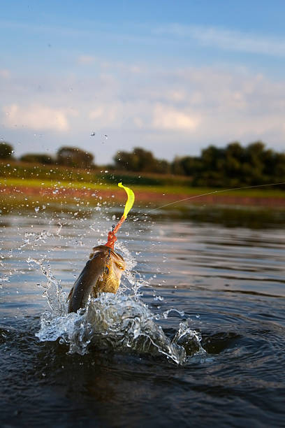 Largemouth Bass Jumping stock photo