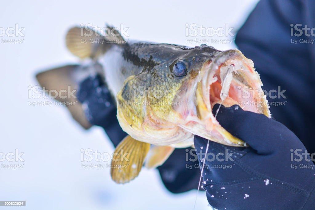 Largemouth Bass auf Eis Lizenzfreies stock-foto