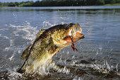 istock Largemouth Bass 1198489926