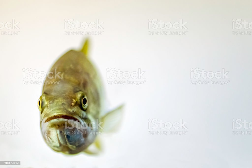 Largemouth bass (Micropterus salmoides) stock photo