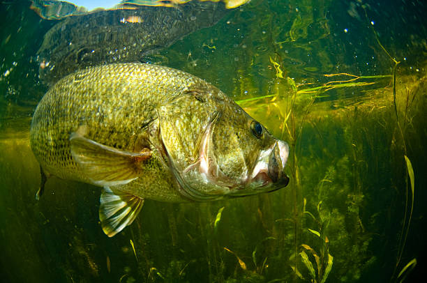 Largemouth bass swimming in water  stock photo