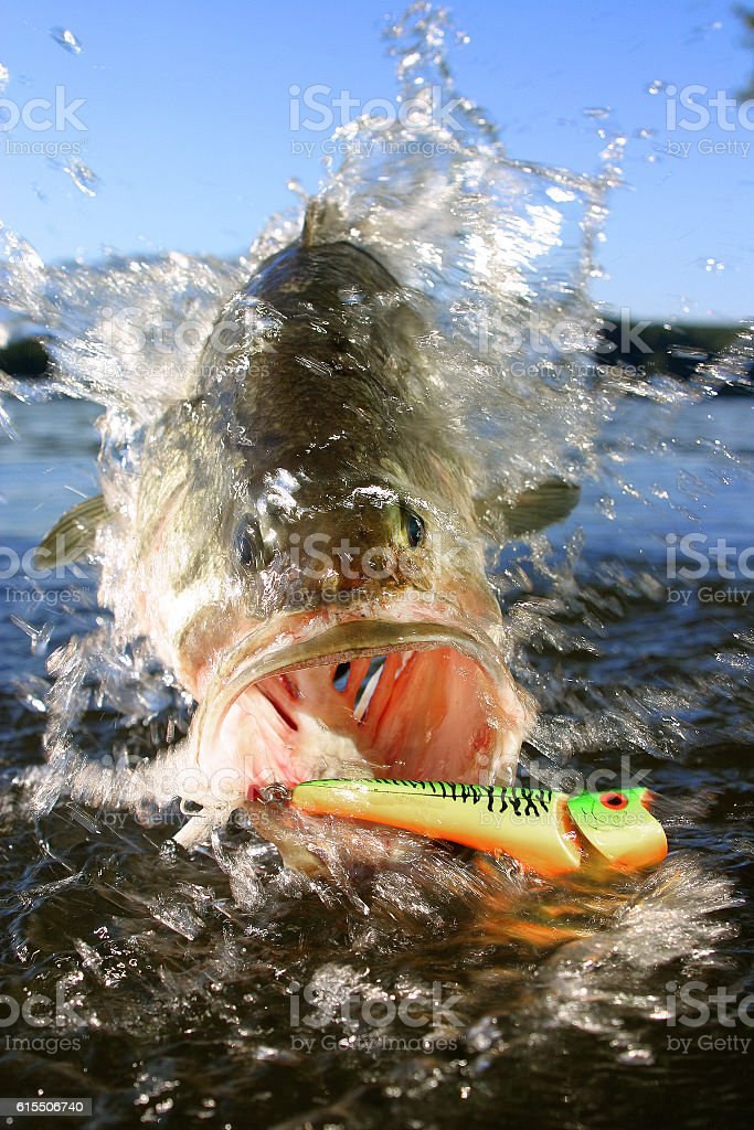 Largemouth Bass with Surface Lure stock photo