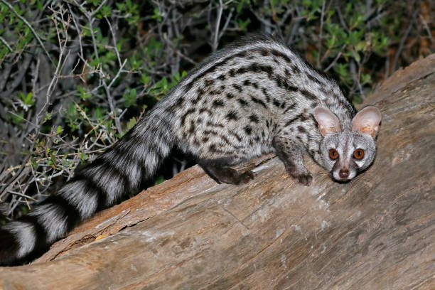Large-spotted genet stock photo