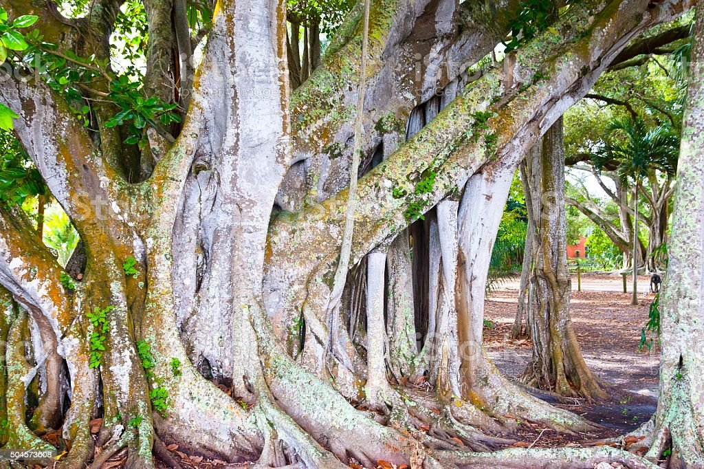 Largest Banyan Tree in the United States, stock photo