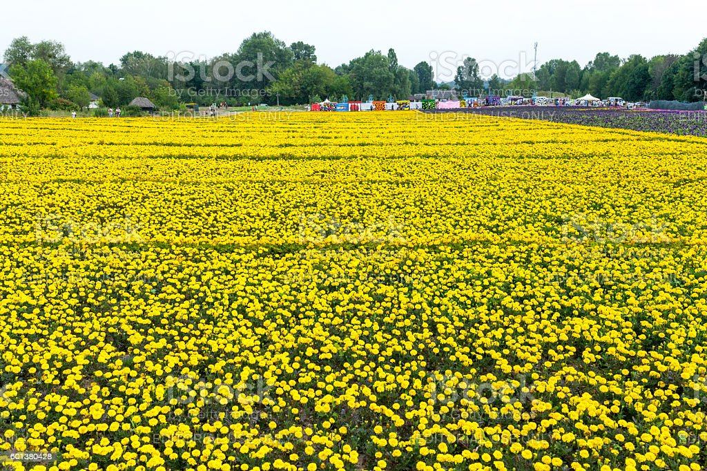 Largest carpet of flowers was created in Kyiv, Ukraine. stock photo
