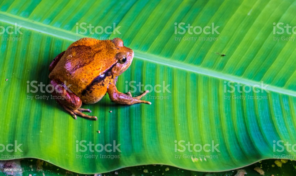 Largest frog species in Madagascar, non-venonmous like all malagasy amphibians, Andasibe National Park, Eastern Madagascar stock photo