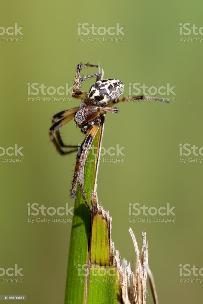 Larinioides cornutus (Furrow Spider) stock photo