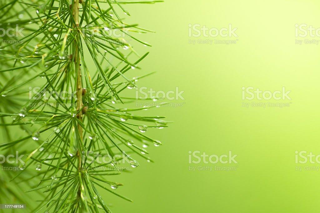 larix royalty-free stock photo