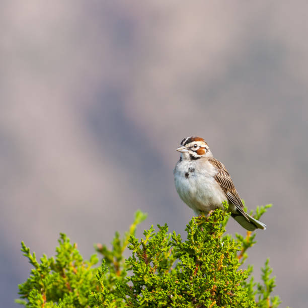 Lark Sparrow in a Juniper Tree stock photo