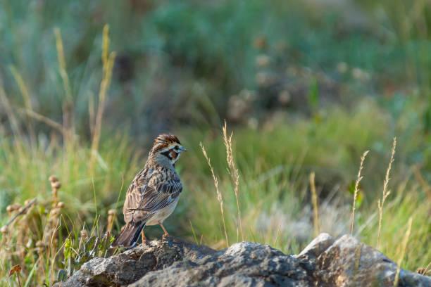 Lark Sparrow on a Rock stock photo
