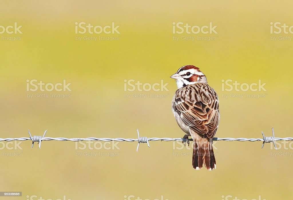 Lark Sparrow on Barbed Wire stock photo