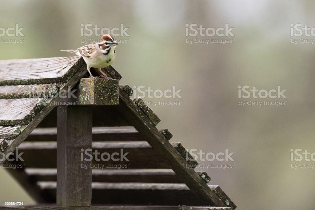 Lark Sparrow on bird feeder stock photo