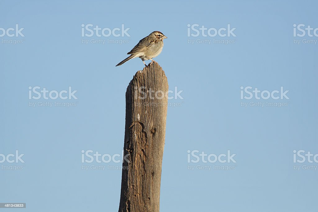 Lark Sparrow royalty-free stock photo