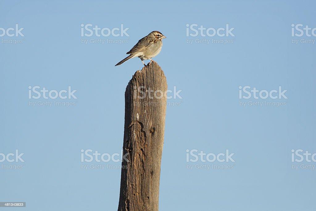Lark Sparrow stock photo