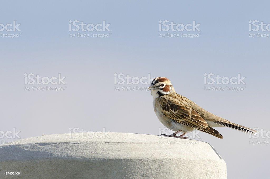Lark Sparrow (Chondestes grammacus) stock photo
