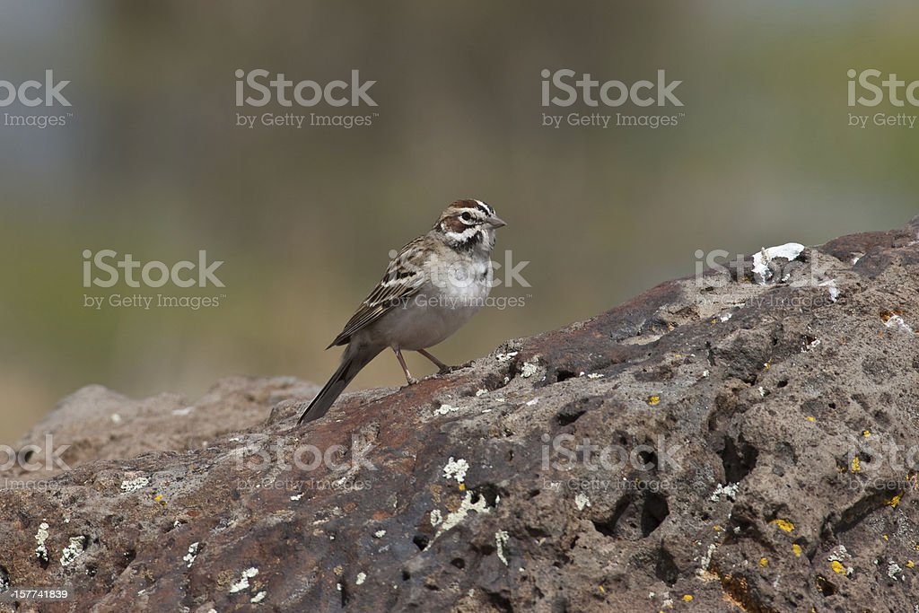 Lark Sparrow Standing on a Rock stock photo