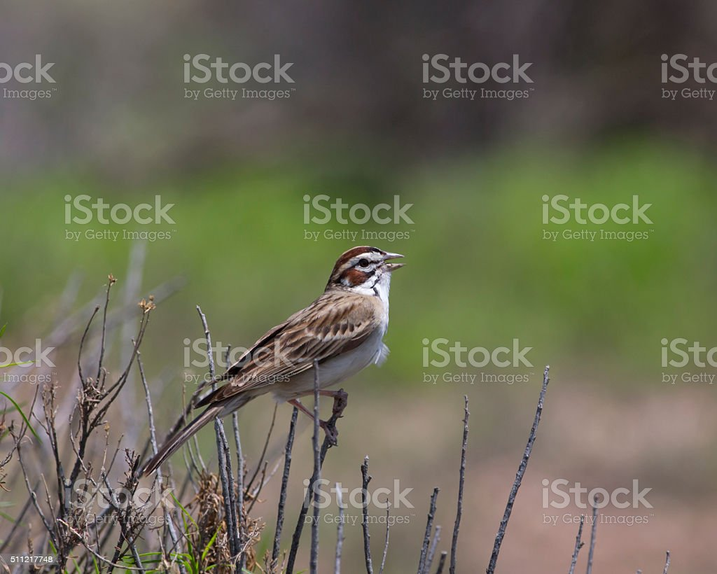 Lark Sparrow - Stock image stock photo