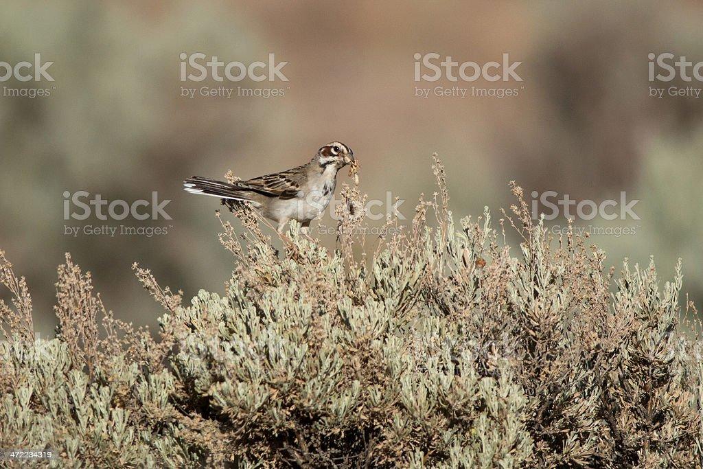 Lark Sparrow with Grasshopper stock photo