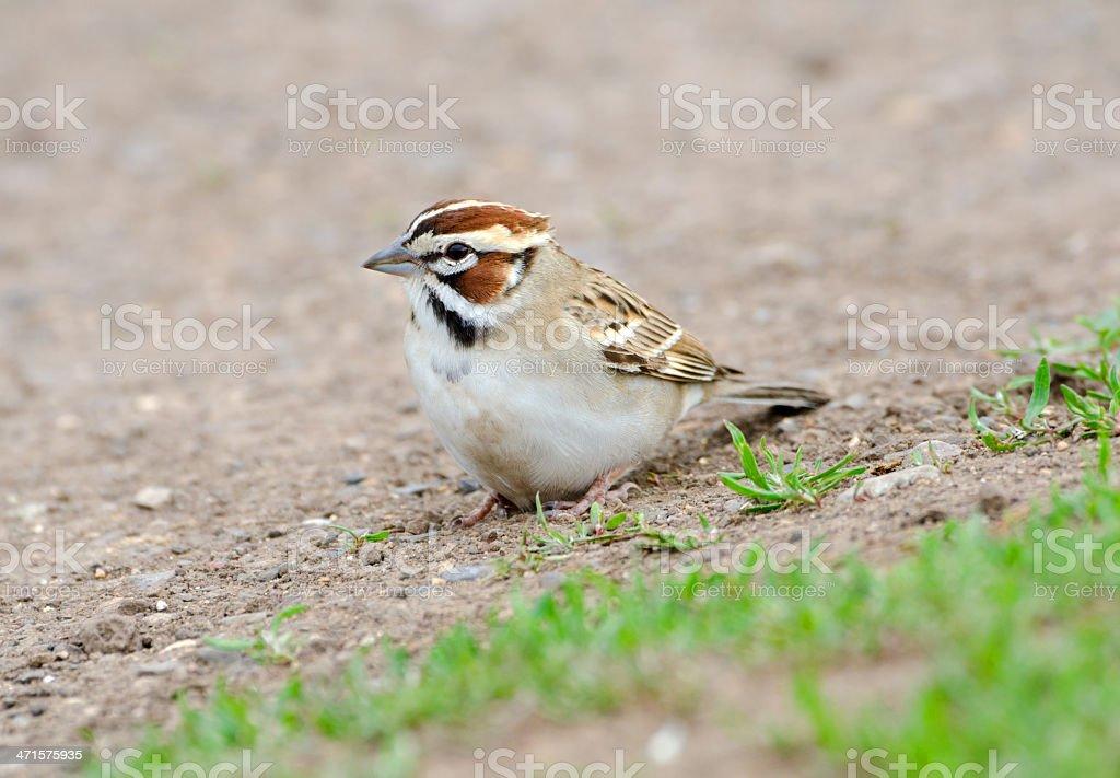 Lark Sparrow - Yellowstone National Park stock photo