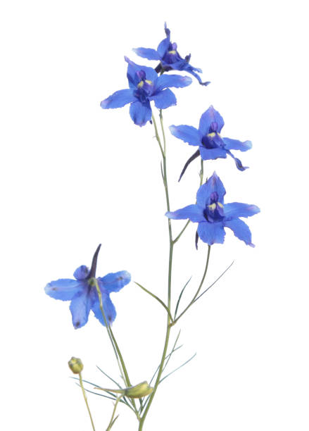 Royalty free larkspur flower pictures images and stock photos istock larkspur consolida regalis flower isolated on white blue flower stock photo mightylinksfo