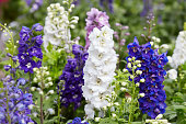 Larkspur flowers, Delphinium elatum in white, purple and blue colors