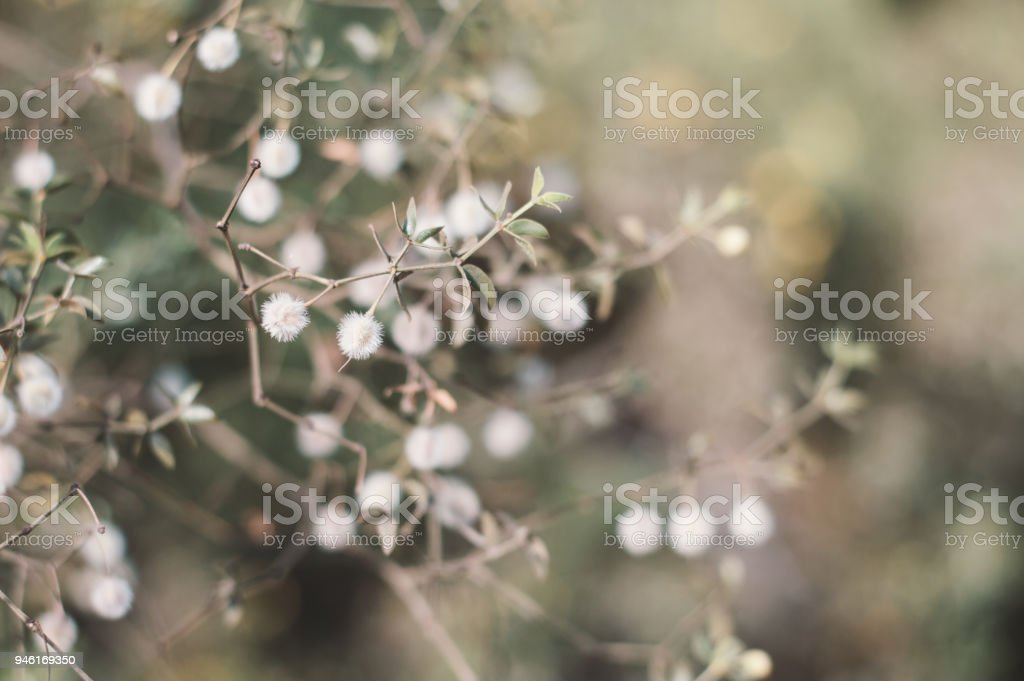 Larrea tridentata plant. Background with creosote bush. Desert plant stock photo