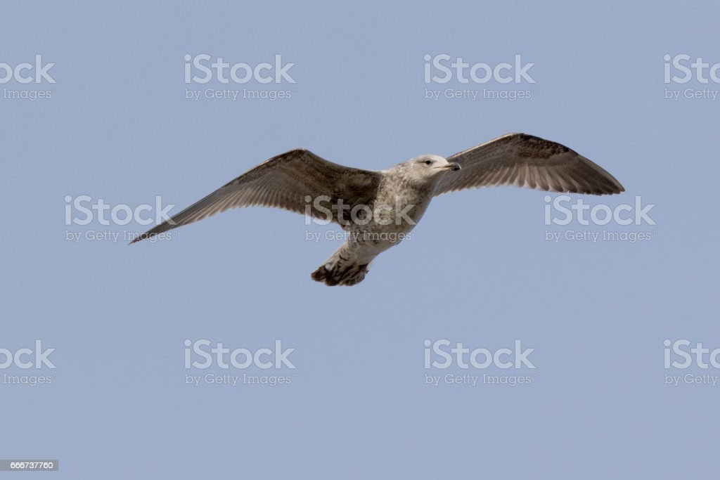 Larus cachinnans. Bird's species is identified inaccurately foto stock royalty-free