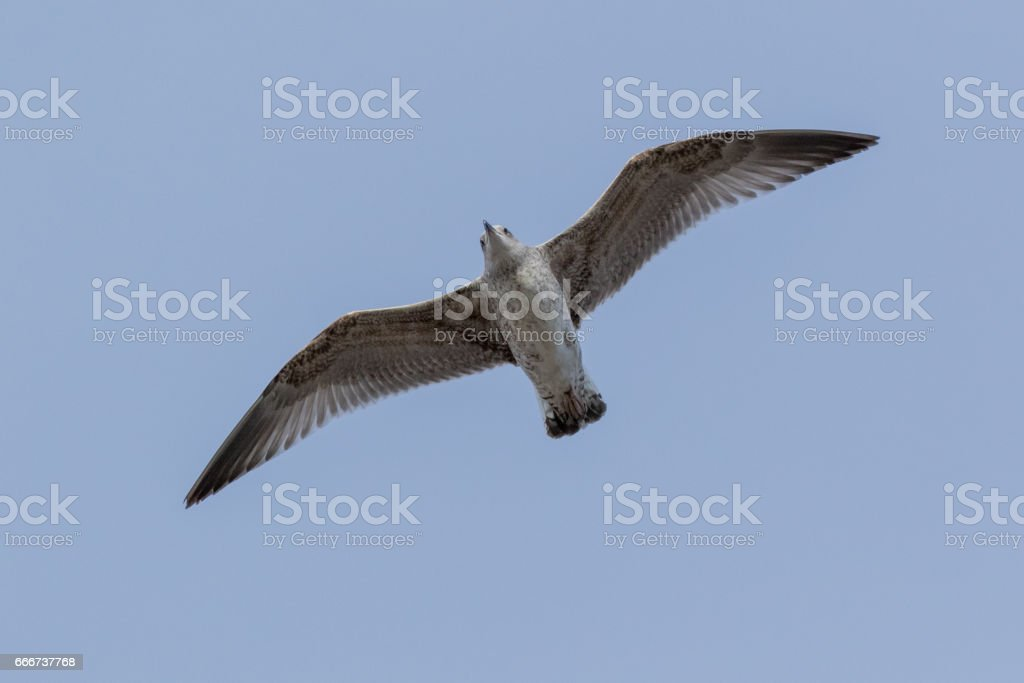 Larus cachinnans. Bird's species is identified inaccurately stock photo
