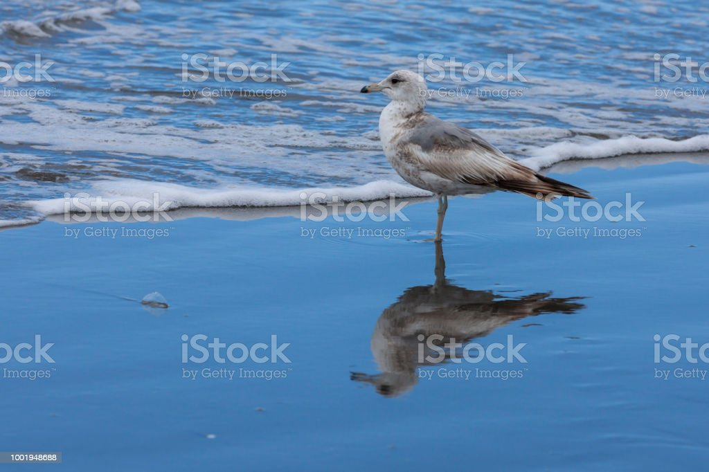 larus delawarensis, Immature ring billed gull. stock photo