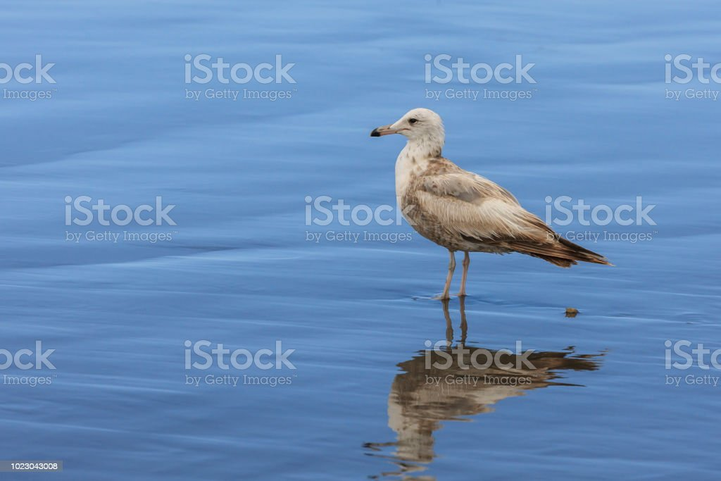 larus delawarensis, Ring billed gull on wet sand. stock photo
