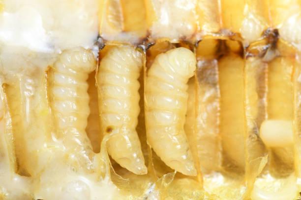 Larva Honey Bee in Bee hive. stock photo