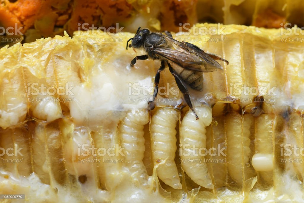 Larve Honey Bee in Bee hive. royalty free stockfoto