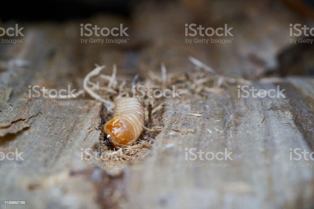 Larve eines großen Pappel-Leinkäfer – Foto