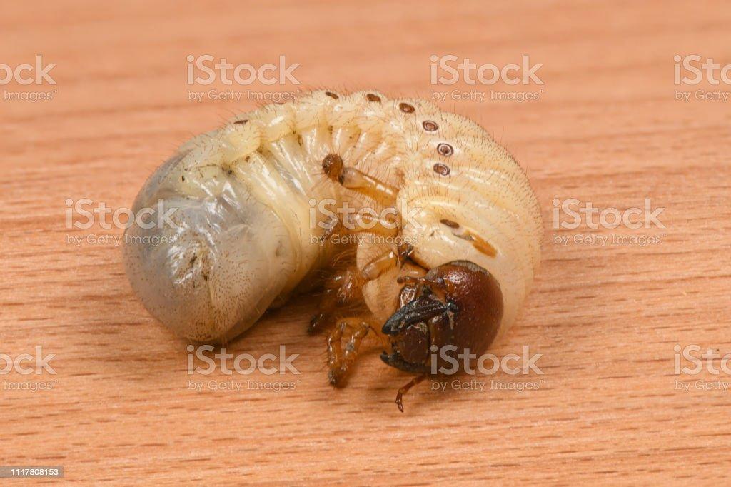Larva Of A Rhinoceros Beetle Stock Photo Download Image Now Istock