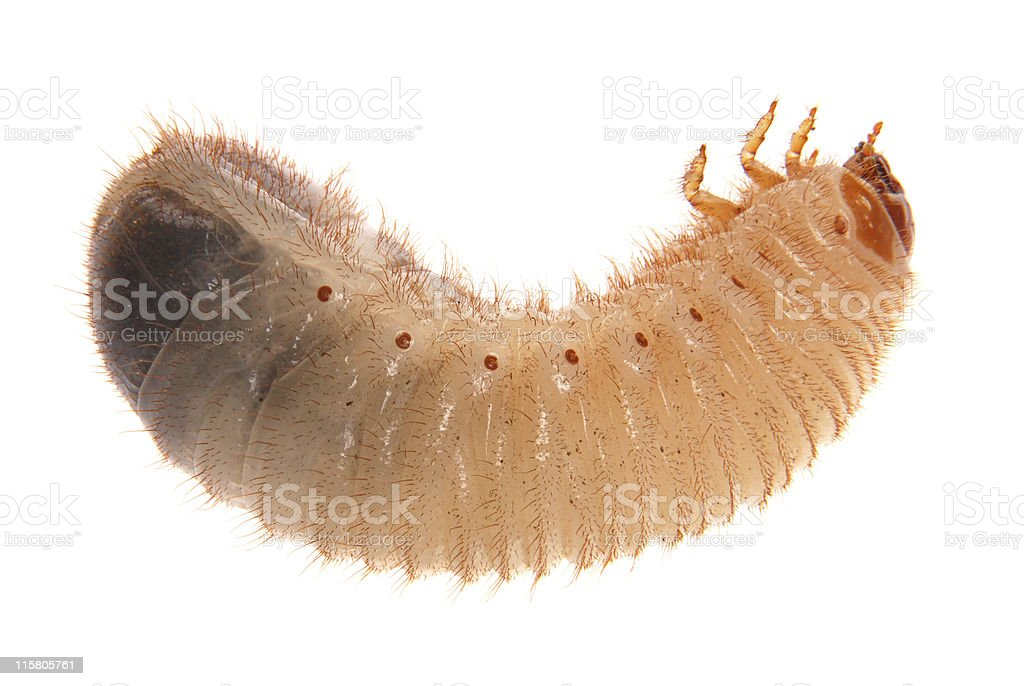 Larva of cockchafer stock photo
