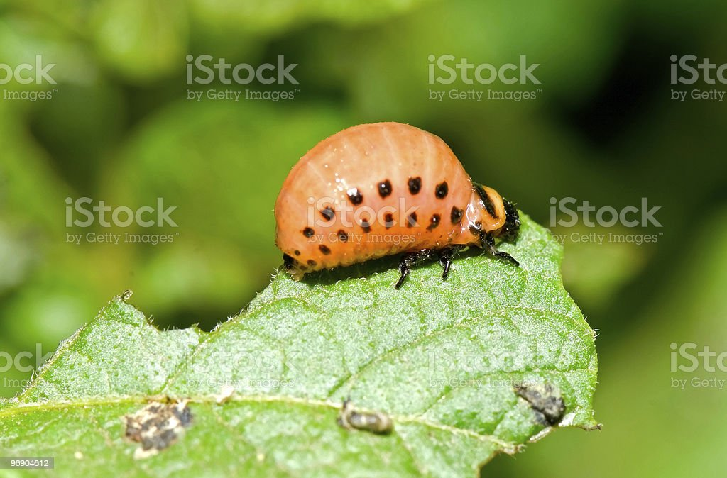 larva of Colorado Potato Beetle royalty-free stock photo