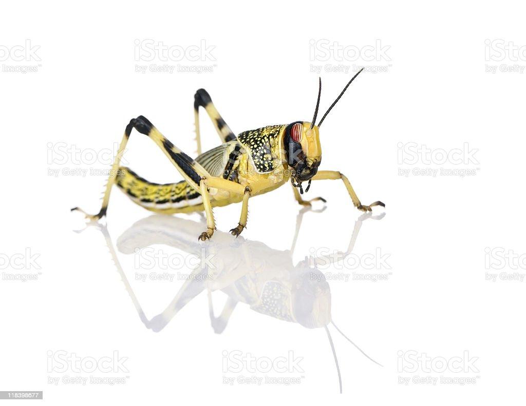 Larva of Desert Locust against white background royalty-free stock photo