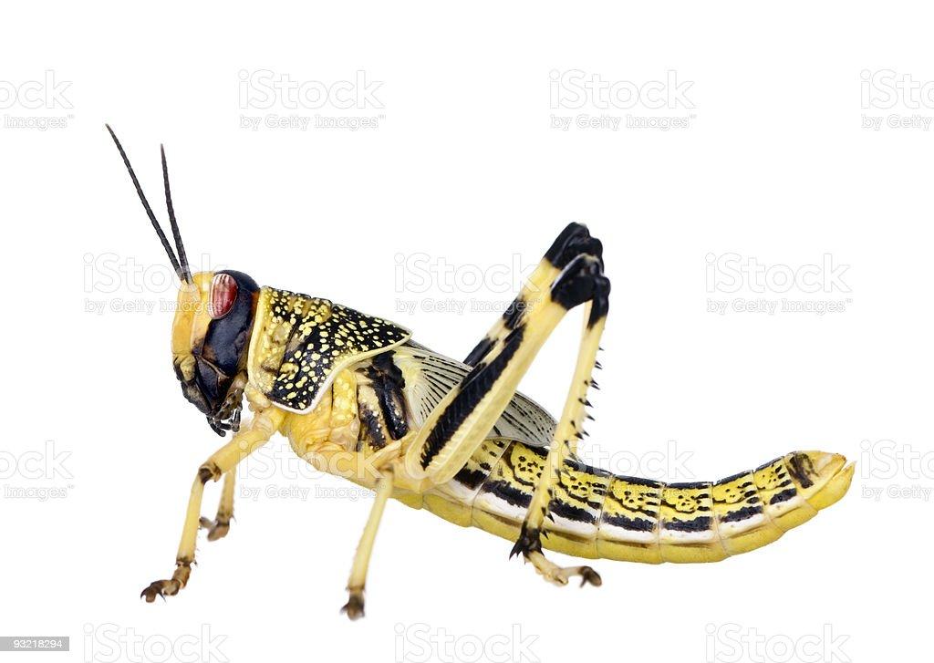 Larva of Desert Locust against white background stock photo
