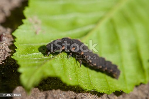 Lampyris noctiluca, the common glow-worm of Europe, is a firefly species of the genus Lampyris.