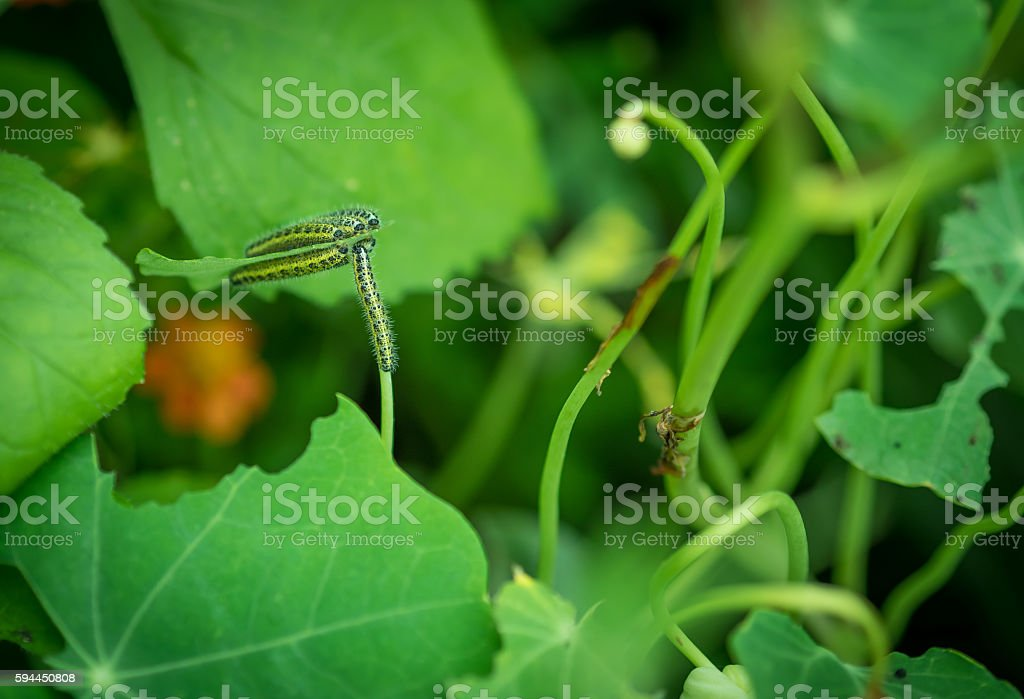 Larva of Pieris brassicae. stock photo