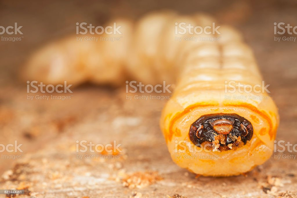 Larva of worms came out of the tree stock photo